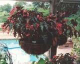 Begonia Lana