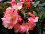 Begonia Hannah Serr blooms