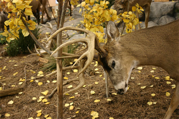 Buck-Rubbing (Cabelas)