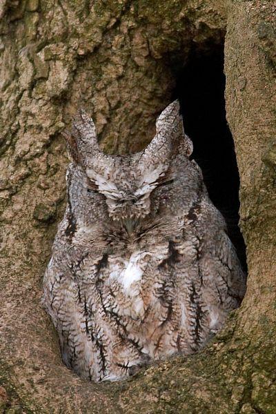 Eastern Screech Owl (Gray)