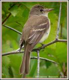 Portraits de moucherolles (Flycatchers)