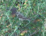 Verdin Juvenile 0804-3j  Scottsdale, AZ