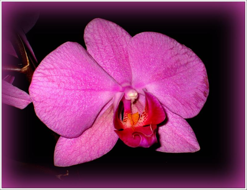 Purple Orchid by Swish