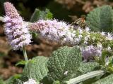 Pollinating the Spearmint