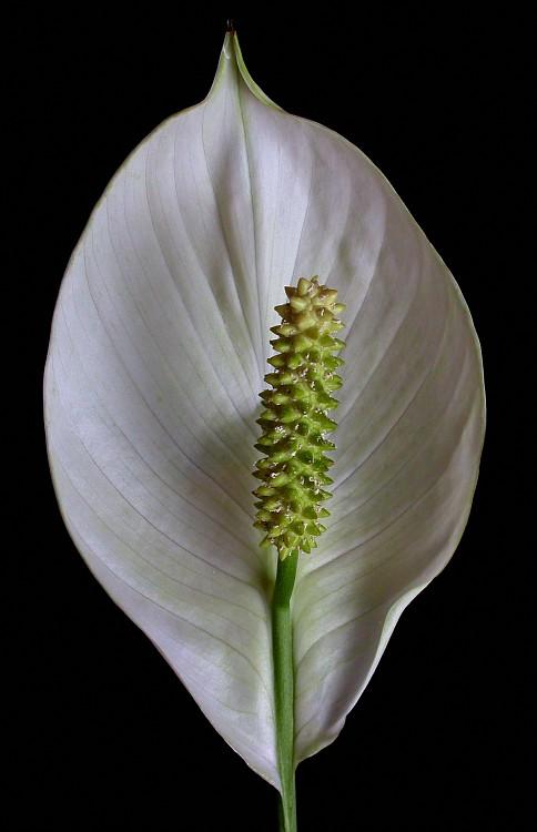Spathiphyllum 3.jpg