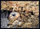 Cusk eel