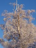 Snowfall Birch