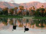 Swans at sunrise