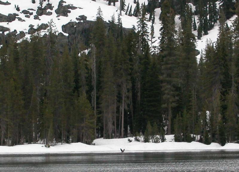 591  Osprey fishing