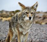A wet coyote