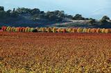 Fall trees and vineyard
