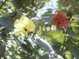 Hau tree flower