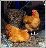 Chicken in a basket?