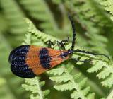 Net Winged Beetles - Lycidae