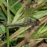 White-faced Meadowhawk - Sympetrum obtrusum (female)
