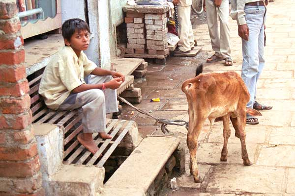 boy-with-cow
