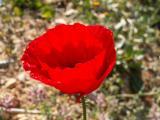 Papoila (Papaver rhoeas) /|\ Common Poppy