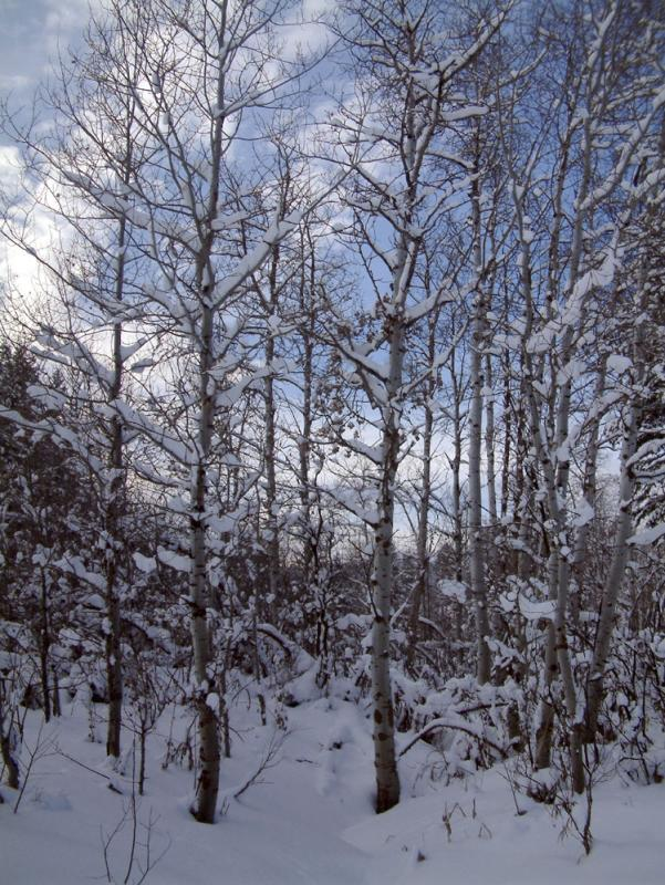 Aspen in winter DSCF0001.jpg