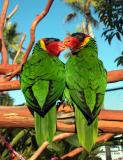 Lovebird Lorikeets