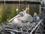 African Pink Backed Pelican on nest
