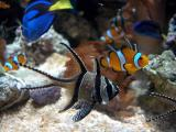 Bangai Cardinalfish and friends
