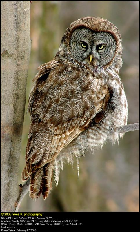Great Grey Owl ...