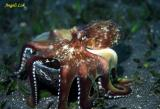 Veined Octopus