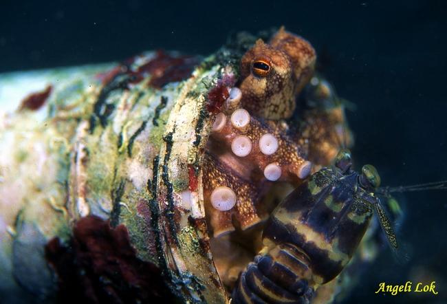 Veined Octopus & Tiger Mantis