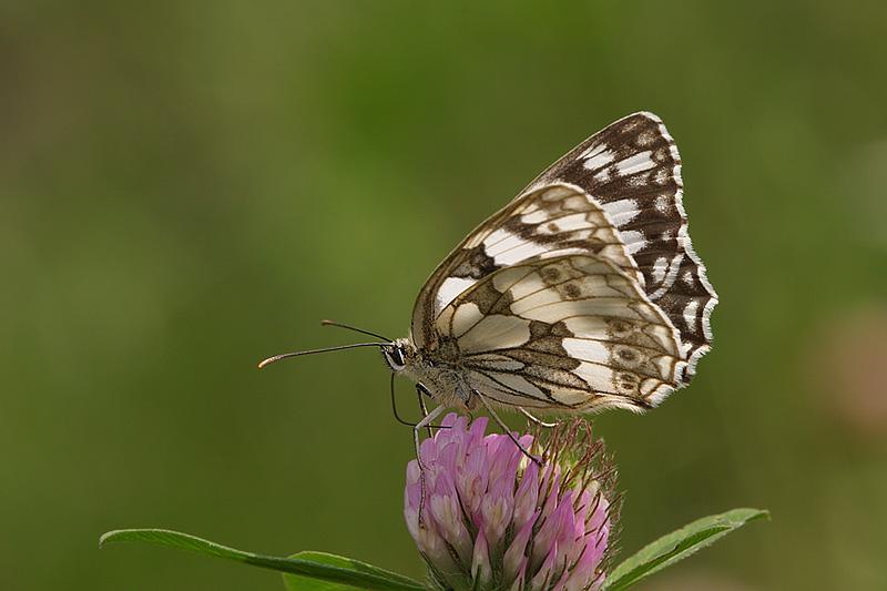 Melanargia galathea (Marbled White)