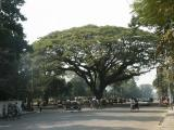 Giant tree, Central Dhaka