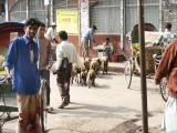Sheep wandering around Dhaka