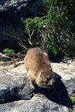 Rock Hyrax (or Dassie), Table Mountain