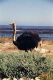 Ostrich on the beach, Cape of Good Hope