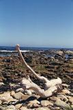 Driftwood, Cape of Good Hope