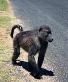 Chacma Baboon, enroute to the Cape