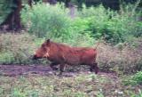 Warthog running, Mlilwane