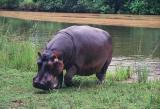 Hippo on shore, Mlilwane