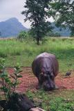 Hippo, Mlilwane