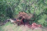 Lion cub and Zebra kill