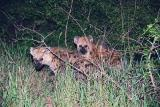 Young spotted hyena during night drive