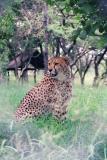 Hoedspruit Cheetah Project outside Kruger Park
