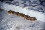 Snake, restcamp at Namutoni. The concensus is that it's a Puff Adder (poisonous)