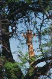 Giraffe near Namutoni