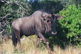 Blue wildebeest, Etosha
