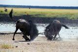 Wildebeest face off, Andoni waterhole, Etosha