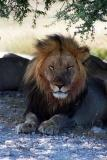The Lion King, Wolfsnes, near Okaukuejo