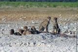 Cheetah take over Gemsbokvlakte waterhole near Okaukuejo
