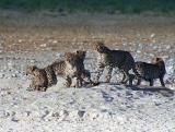 Cheetah at attention, Gemsbokvlakte, Etosha