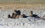 This is the largest number of cheetah I've seen in one place, Etosha
