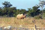 Black rhino. They come to the floodlit waterhole at Okaukuejo every night